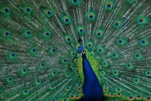 male-peacock-feathers-1000
